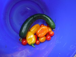 夏野菜ができました!